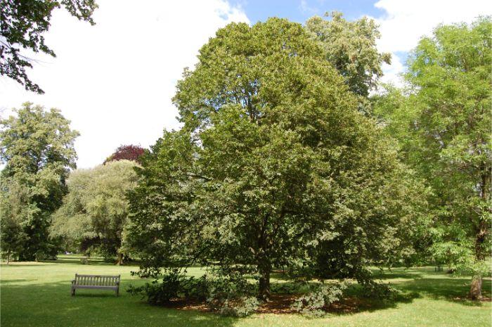 Büyük yapraklı ıhlamur en fazla CO2 emen havayı temizleyici bir ağaç