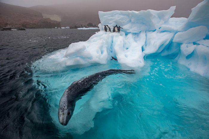 Pars foku (Antarktika leopar foku) penguen avlıyor