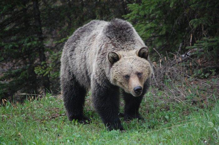 Türkiye'de yaşayan vahşi hayvanlar arasında boz ayı