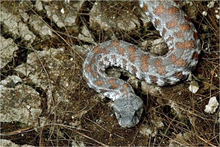 Koca engerek yılanı