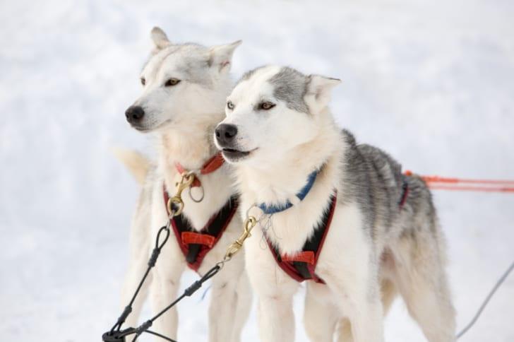 sibirya kurdu kızak köpeği (husky)