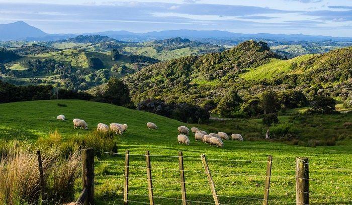 yeni zelanda otlakları ve koyunlar