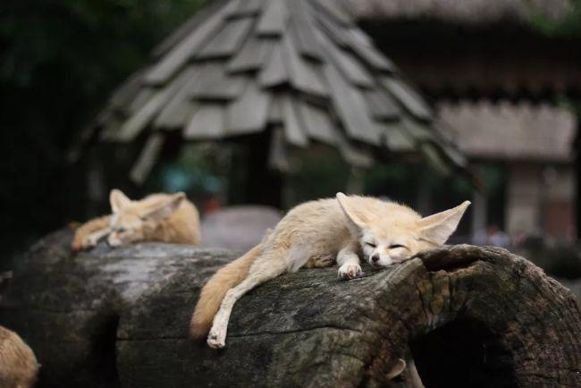 ağaç kütüğünde uyuyorlar