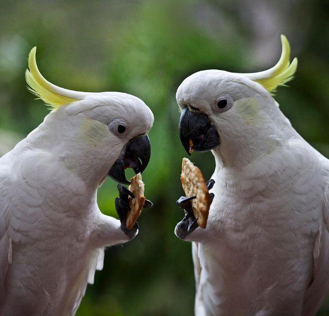 ayaklarıyla yemek yiyen kakadular