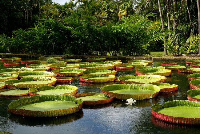 Amazon nilüferinin çiçeği yaklaşık 48 saat açık kalır ve ardından su altına çekilir.