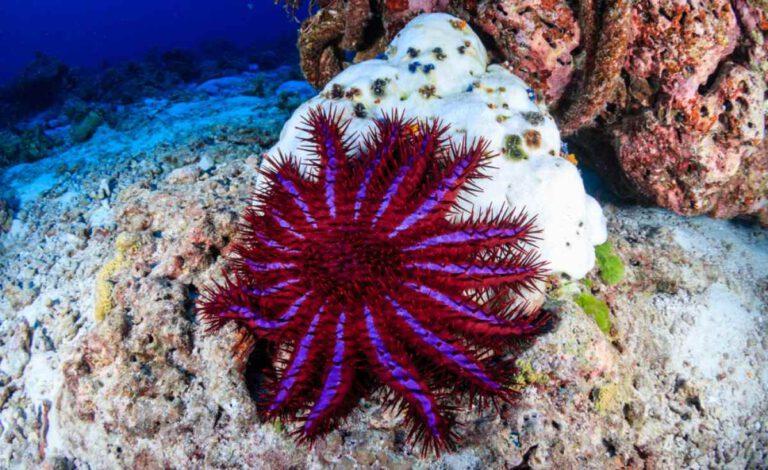Dikenli denizyıldızı
