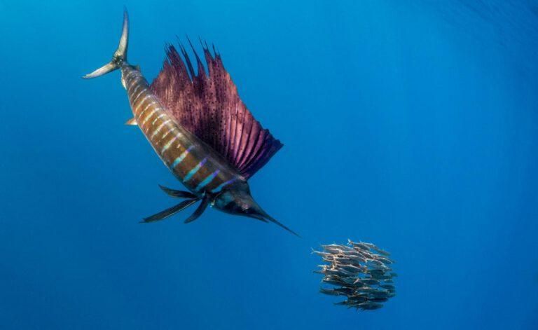 en hızlı balık