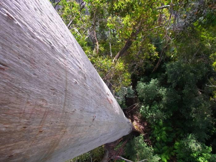en uzun ağaçlar arasında centurion ağacı