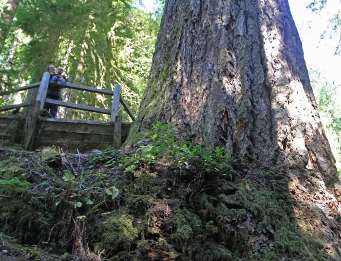 en uzun ağaçlar arasında Duglas göknarı