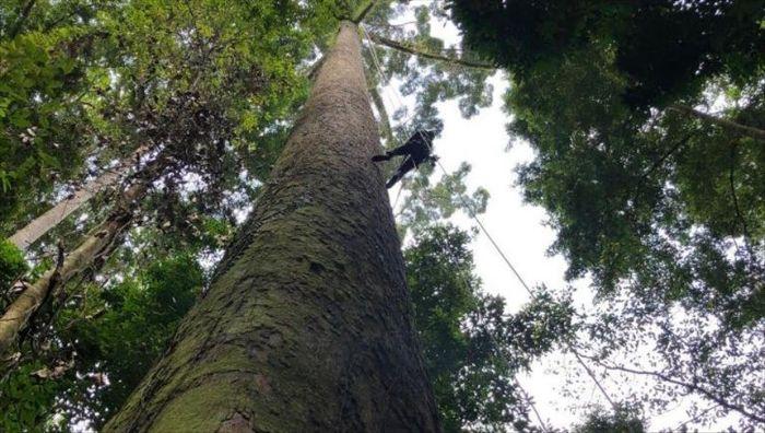 Menara ağacı en uzun ağaçlardan biridir