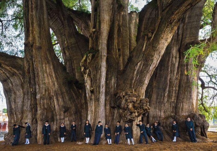 en büyük ağaçlar arasında tule ağacı.