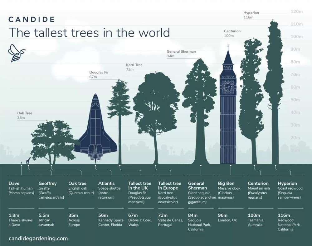 dünyanın en uzun ağacı Hyperion