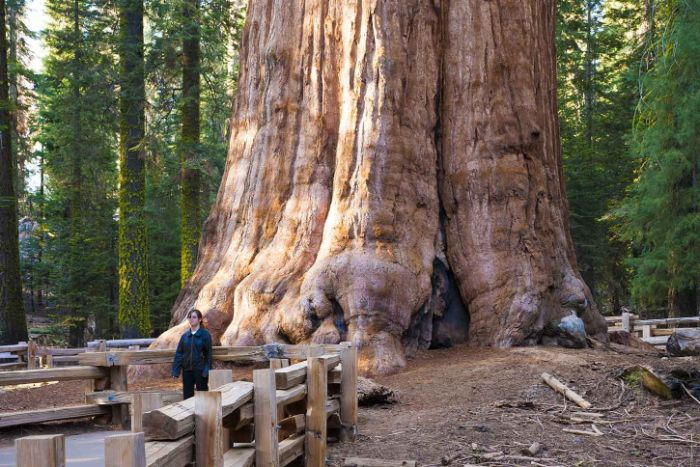 En büyük ağaç General Sherman