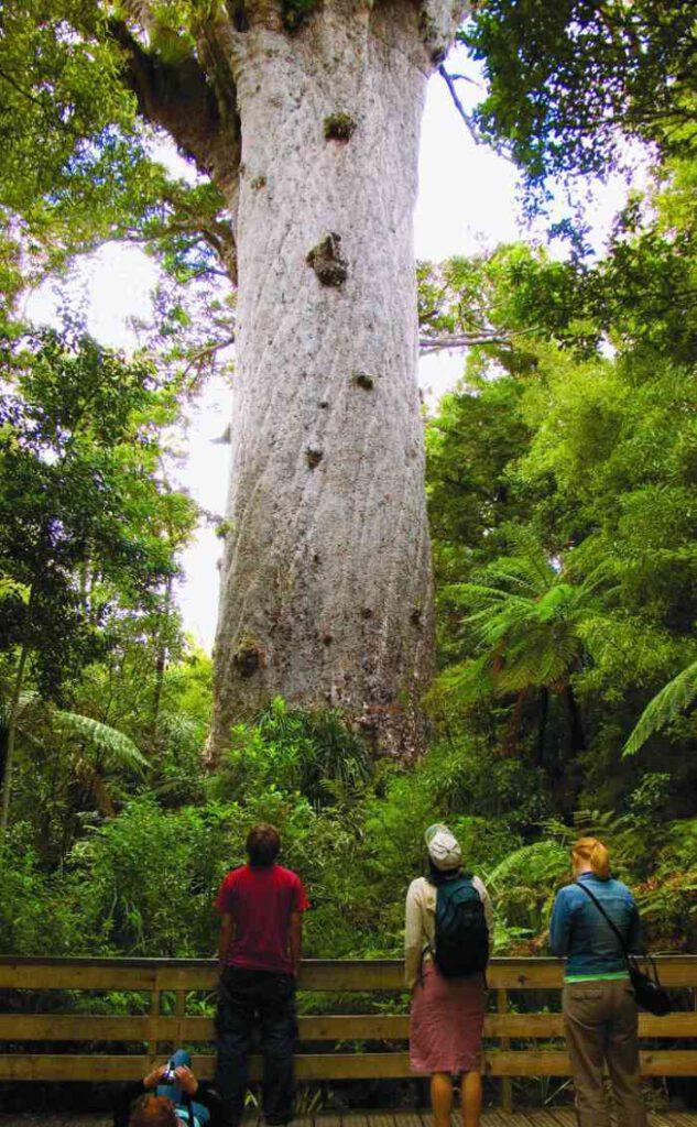 Tane Mahuta en büyük ağaçlardan biridir