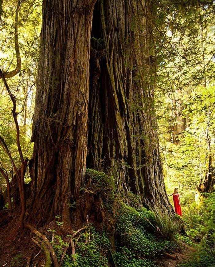 en büyük ağaçlardan lost monarch