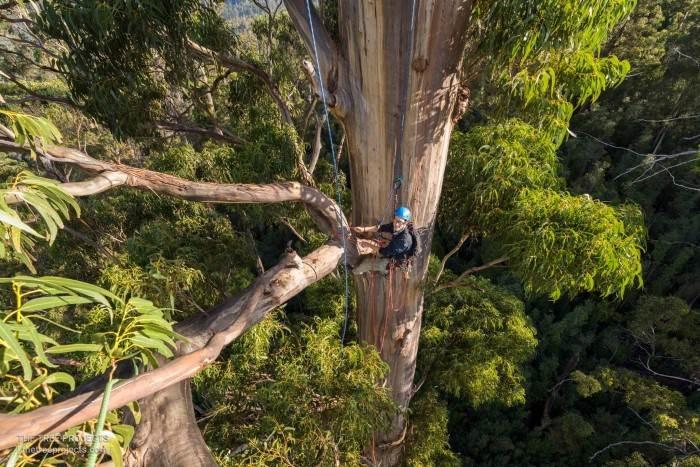 en uzun ağaçlardan mavi okaliptus