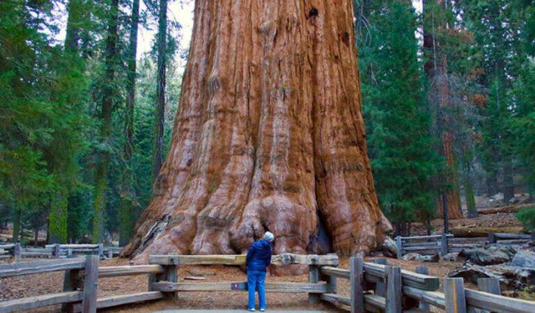 en büyük ağaçlar arasında general sherman ağacı