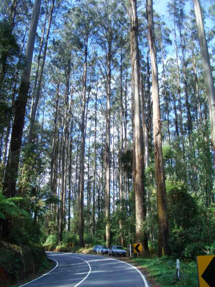en büyük ağaçlar arasında tazmanya meşesi vardır.