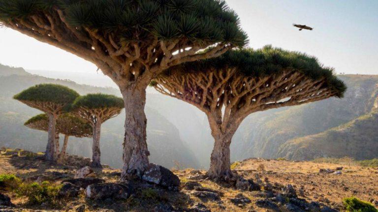 ejder kanı ağacı