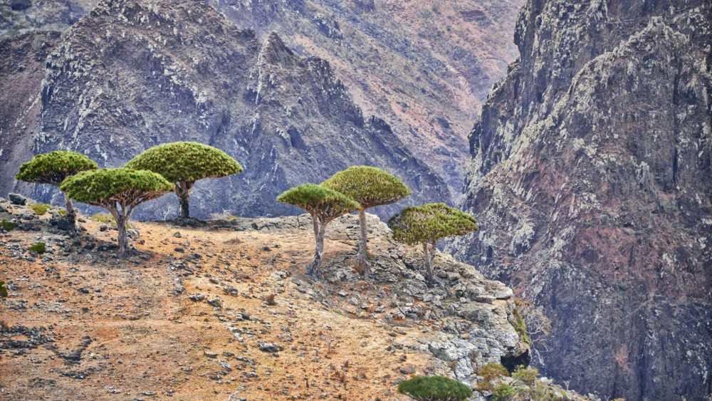 Ejder kanı ağaçları gruplar halinde bir arada yetişir.