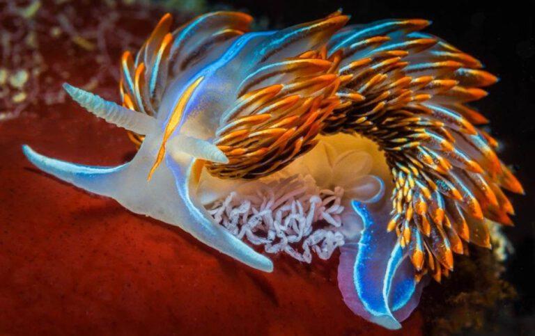 Deniz Sümüklü Böceği opalescent_nudibranch