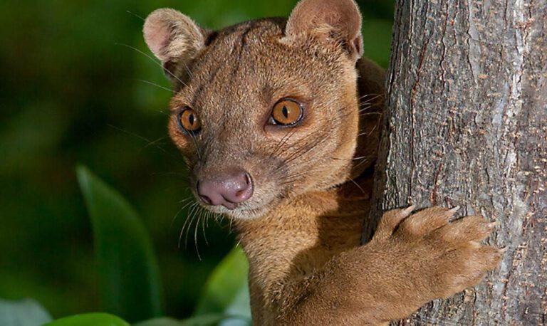 fossa hayvanı