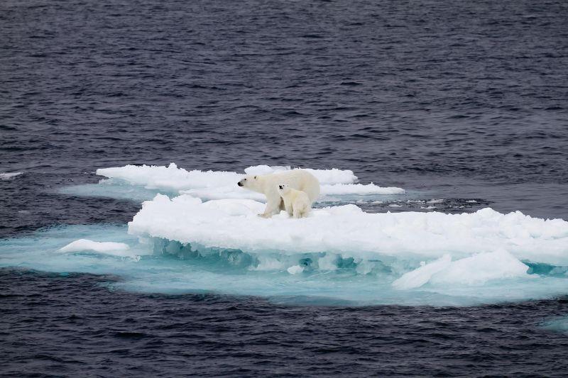 Küçük bir buz kütlesi üzerinde iki kutup ayısı.