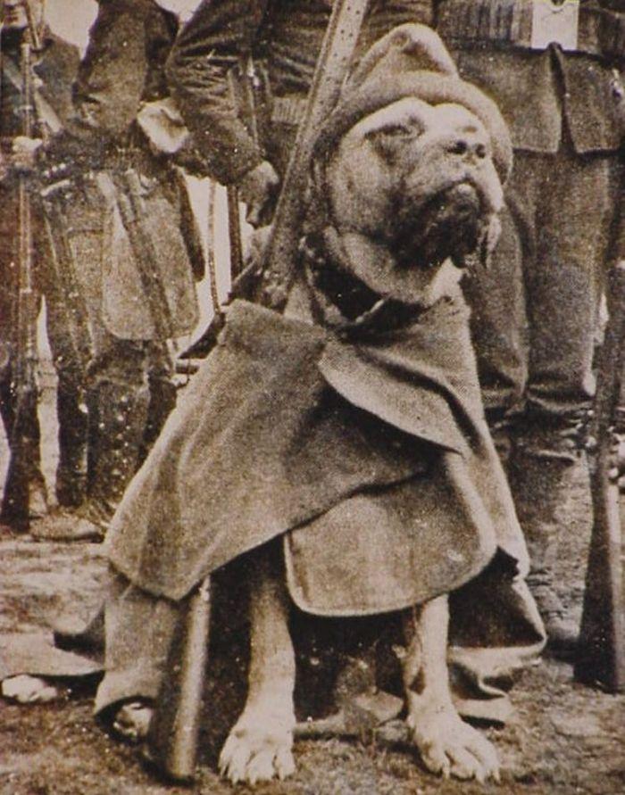 En ünlü savaş köpeği Çavuş Güdük.