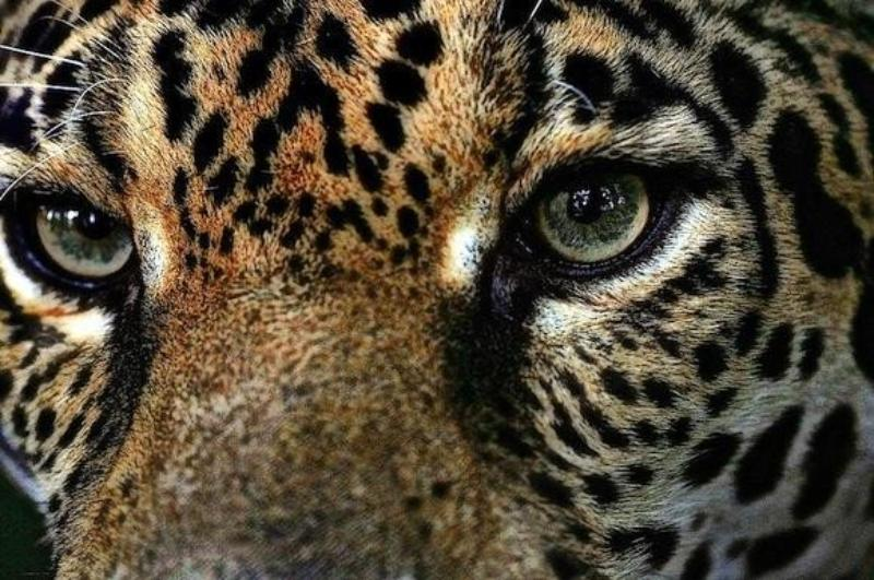 Kolombiya Jaguarı.