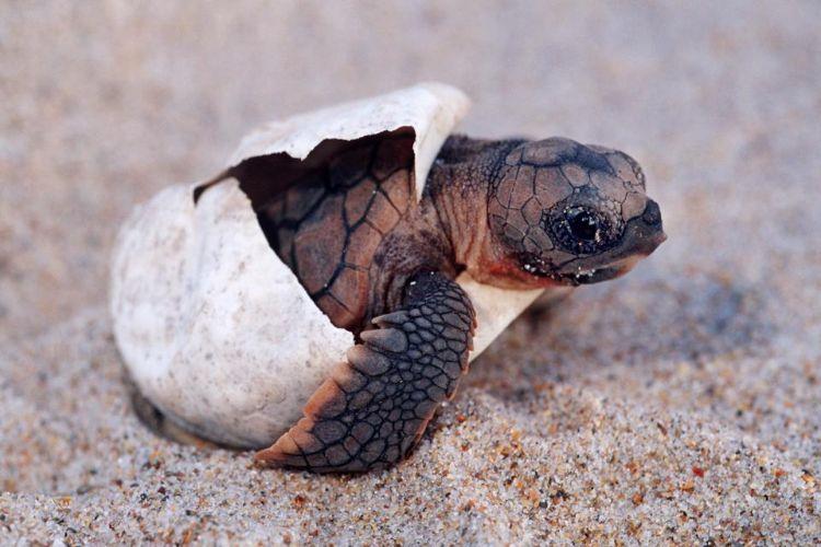 Yumurtadan çıkan kaplumbağa