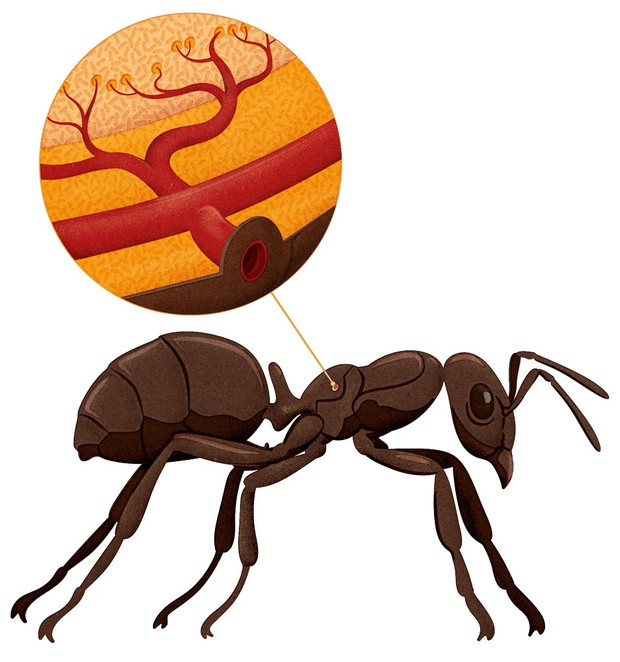 Karıncanın solunum açıklığı.