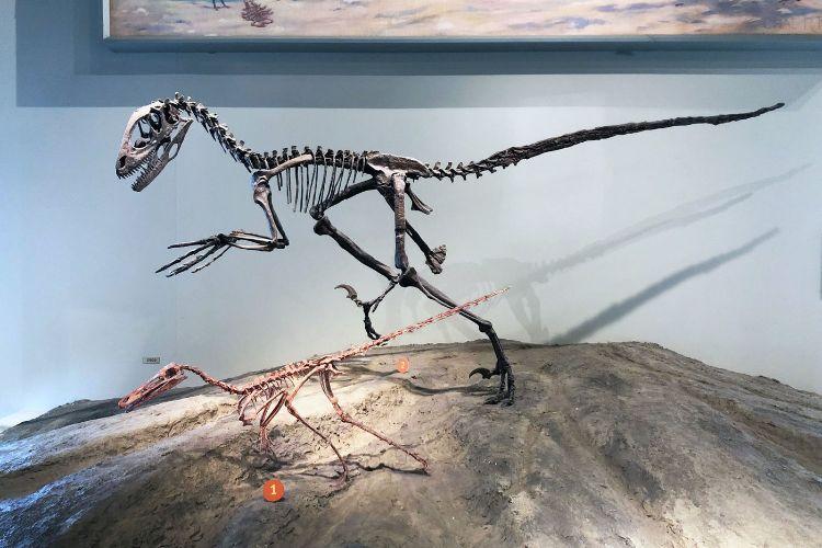Bu iki Dromaeosaur'un üzerinde döküm olduklarını bildiren etiketler vardır. Tüylü teropod dinozorların günümüz kuşlarıyla birçok ortak özelliği var.