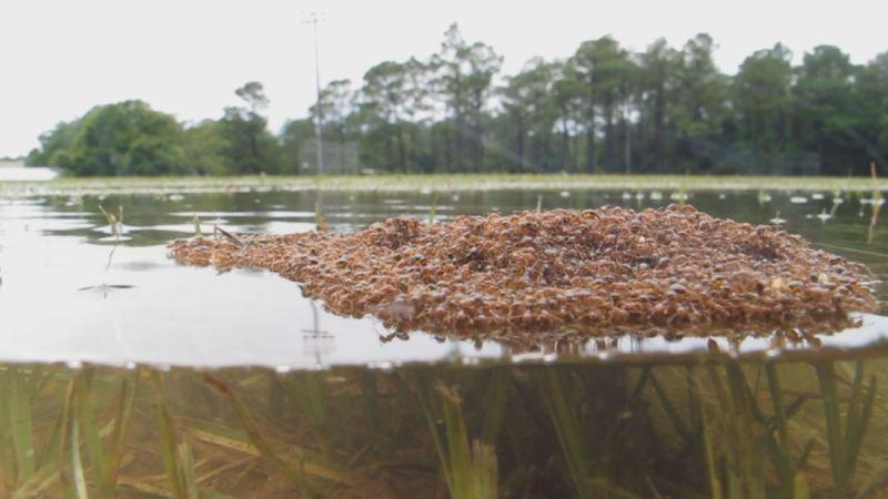 İş birliği ile su üstünde kalan akıllı ateş karıncaları.