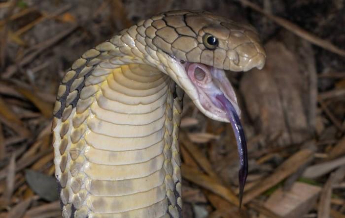Glottis açıklığı görülen yılan.