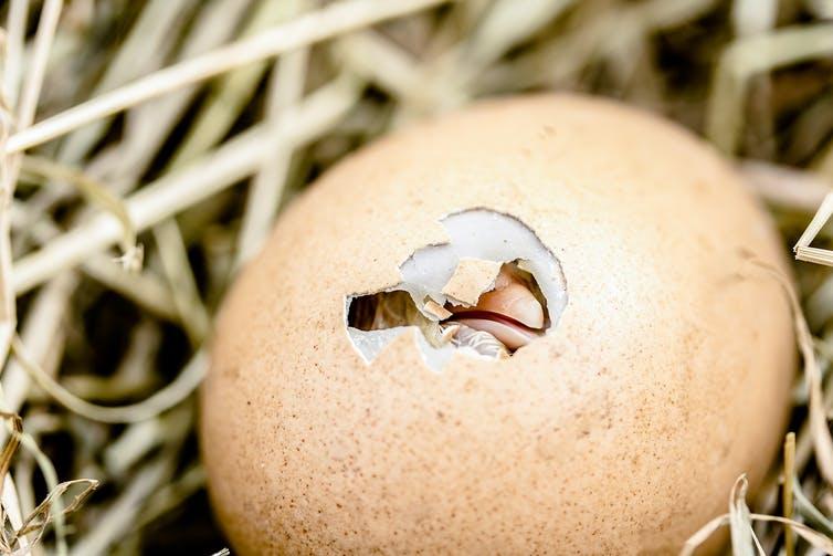 Yumurtanın içindeki zarlar embriyo için içeri oksijeni taşır ve dışarı karbondioksiti atar.