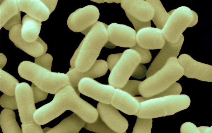 Bağırsak mikrobiyomunu sağlıklı tutan Bifidobacterium bifidum bakterileri.