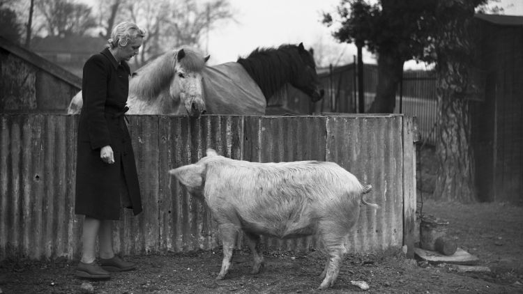 Wimbledon'ın geniş otoparklarından biri, burada Nisan 1942'de gösterildiği gibi, domuzlar, atlar, tavuklar, kazlar, ördekler ve tavşanları barındıran ahşap ağıllarla doluydu.