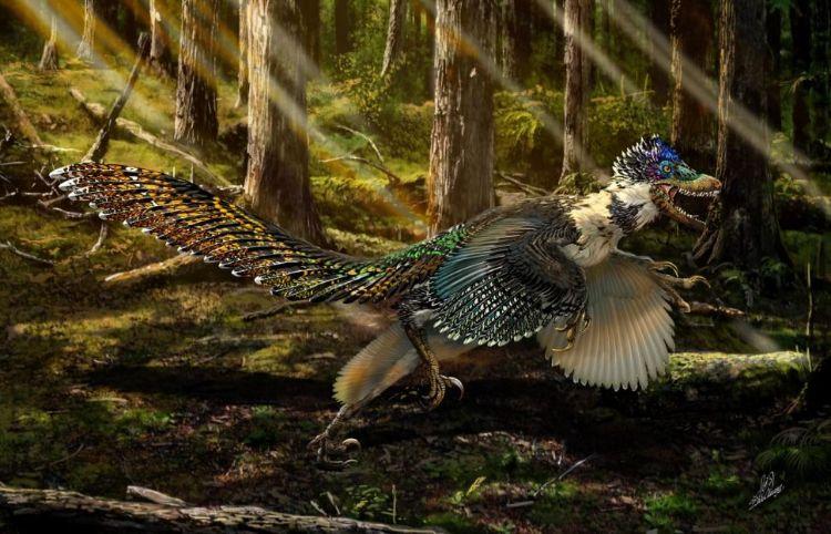 Velociraptor'ın yakın bir kuzeni olan kanatlı bir dinozor olan Zhenyuanlong suni'nin bir sanatçı çizimi. Araştırmacılar, kuşa benzer kanatlara sahip olmasına rağmen muhtemelen uçamadığını yani en azından modern kuşlarla aynı tip güçlü kas güdümlü uçuşu kullanmadığını söylüyor.
