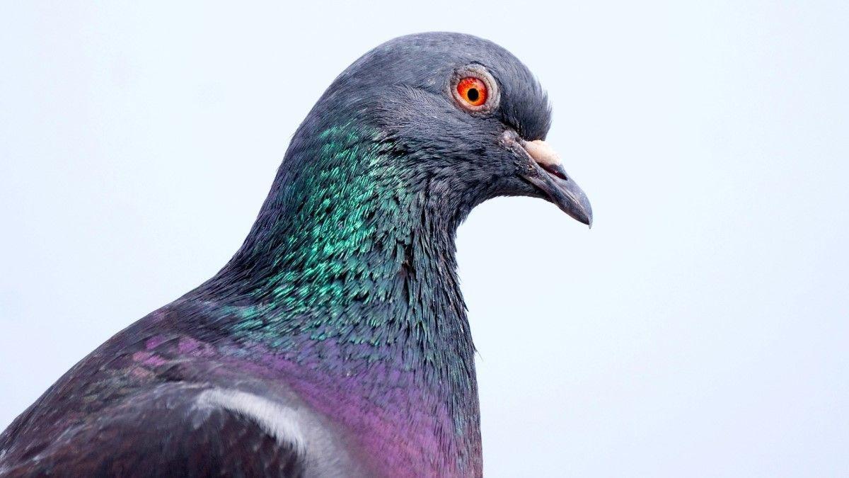 Güvercin veya tavuk neden başını sallayarak yürüyor?