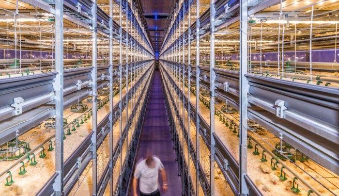 Tavuk talebinin artmasıyla birlikte Hollandalı firmalar kanatlı üretimini en üst düzeye çıkarmak için teknolojiler geliştiriyor. Bu yüksek teknolojili piliç kümesi, kuluçkadan hasada kadar 150.000 kadar kuş barındırıyor.