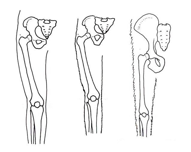 Sırasıyla modern insan, Australopithecus afarensis ve modern şempanzenin bacaklarındaki dik yürüme yeteneğine dair farklılıkları gösteren karşılaştırma.