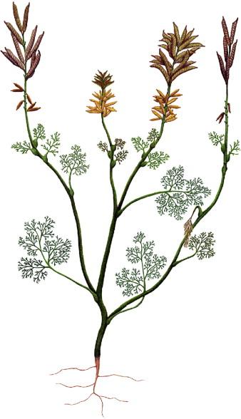Bulunan en eski çiçek fosili olan Archaefructus liaoningensis'in çizimi.