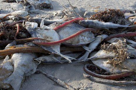 Teksas, Padres Adası kıyısında kırmızı gelgit tarafından öldürülen balıklar.