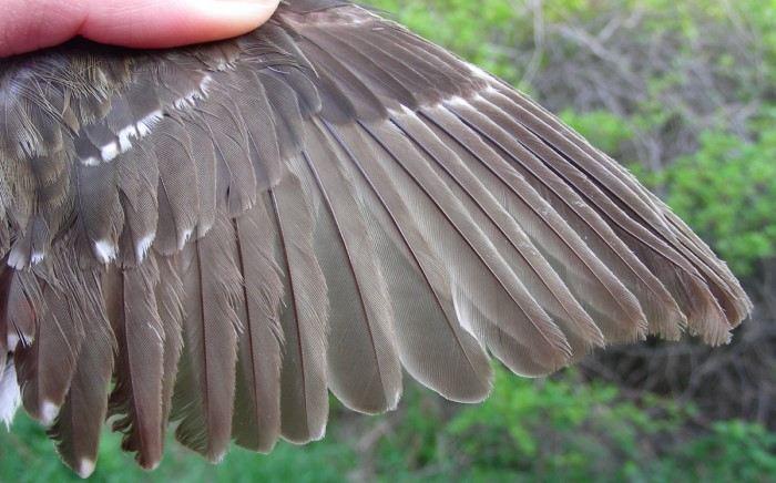 Beyaz kanatlar yavruluk döneminden kalma ve koyu renkli olanlar daha yeni çıkmış. Tüyler yaşlandıkça melanin pigmenti azalır ve tüy koyu rengini kaybeder.