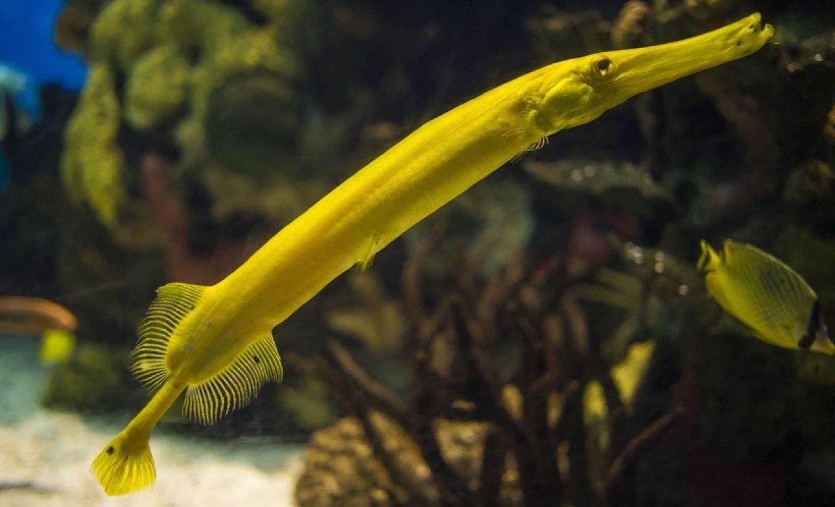 trompet balığı