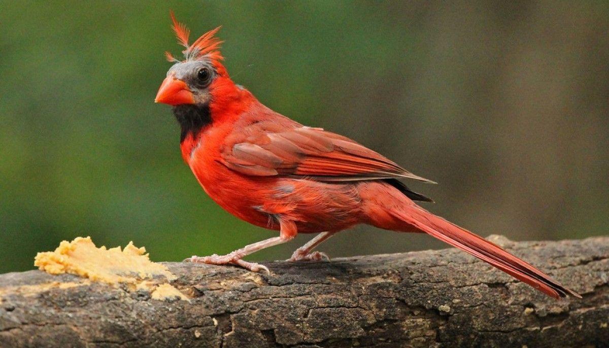 kuşlarda tüy dökümü