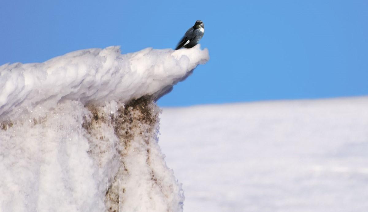diuca ispinozu kuşu