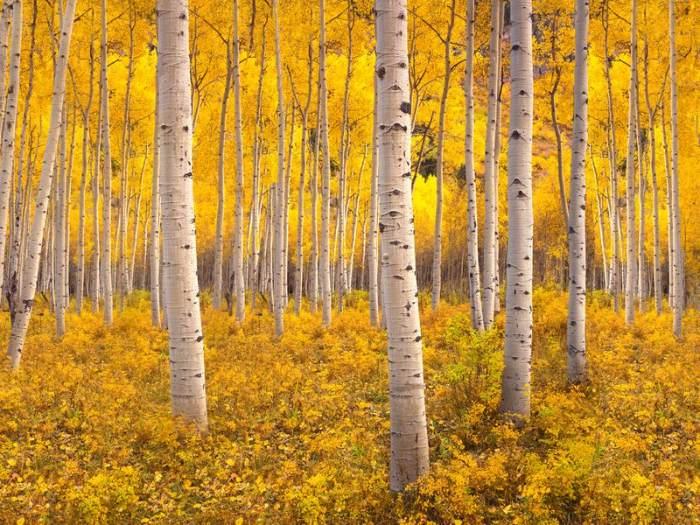 Ağaç, tek bir uzun köke bağlı olan 47.000'den fazla genetik olarak aynı gövdeye sahip.