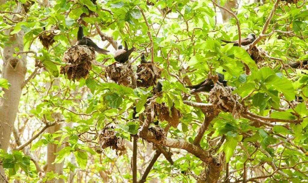 pisonia ağacı