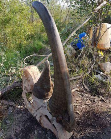 Bir yünlü gergedan kafatası, soyu tükenmiş hayvanın uzun ve kısa boynuzlarını gösteriyor.